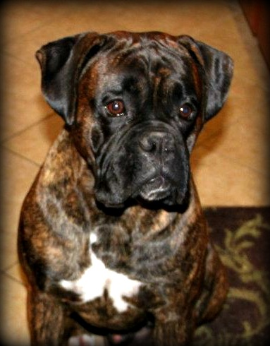AKC Boxers DNA health tested Imported lines California